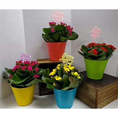 4_in_Kalanchoe_-_14.99